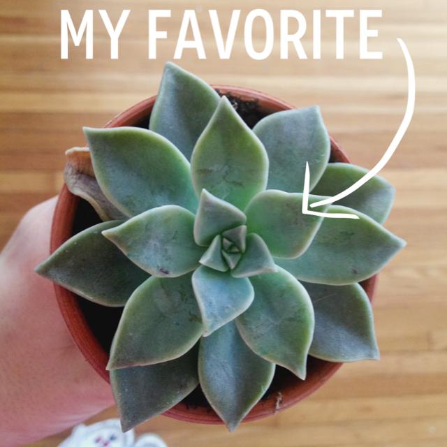 ABM Succulent